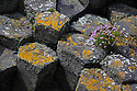 Thrift {Armeria maritima} growing amongst  basalt columns, Isle of Staffa, Inner Hebrides, Scotland, UK. June.