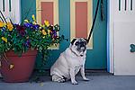 Pugs waiting at the doorside