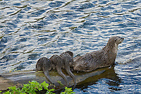 Northern River Otter (Lontra canadensis) mom with three pups.  Western U.S., summer..