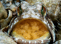Banded Jawfish (Opistognathus macrognathus) mouth brooding eggs that have an unusual orange color, Lake Worth Lagoon, Riviera Beach, Florida, USA, Atlantic Ocean