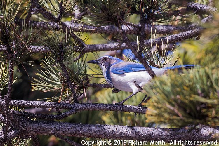 A California Scrub-Jay explores a tree near an urban shopping center's parking lot.  A thouch of urban wildlife.
