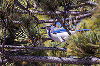 A California Scrub-Jay explores a tree near an urban shopping center's parking lot.  A thouch of urban wildlife.