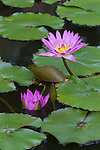 Malaysia, Pulau Penang, Georgetown: Pink Lotus flowers | Malaysia, Pulau Penang, Georgetown: Seerosen