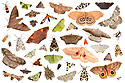 Moths attracted to a light trap in the rainforest, photographed individually on a white background in mobile field studio and then composited together to make this montage. Cordillera de Talamanca mountain range, Caribbean Slopes, Costa Rica. May.