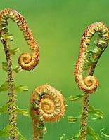 New growth of Sword fern (polystichum munitum). Siuslaw National Forest, Oregon.