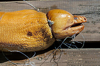 yellow moray eel, Gymnothorax prasinus, tangled and dead in a fishing line, found in Poor Knight Island Marine Reserve (no fishing is allowed there), New Zealand, Pacific Ocean