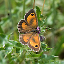 Gatekeeper butterfly (Pyronia tithonus), south-west London, mid July.