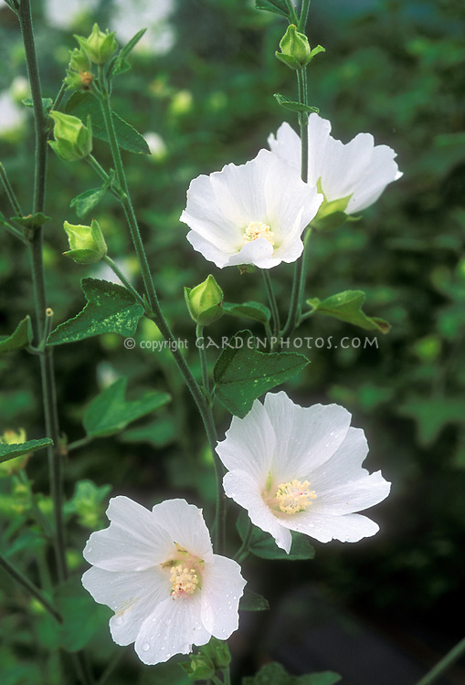 Lavatera thuringiaca 'Ice Cool' Mallow in bloom