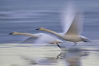 Pair of Tundra Swans taking flight - pan blur