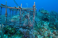 fish trap placed at spawning aggregation site by holders of special fishing permit, is filled with Nassau groupers, Epinephelus striatus (Endangered Species), Lighthouse Reef Atoll, Belize, Central America (Caribbean Sea)