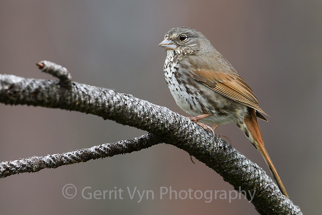 Fox Sparrow (Passerella iliac) of the thick-billed subspeceis fulva. Deschutes County, Oregon. May.