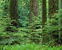 Old Growth Douglas Fir Forest with young hemlock trees, Pacific N.W.