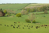 13-5-2021 Beef suckler cows on the  Lincolnshire Wolds<br /> ©Tim Scrivener Photographer 07850 303986<br />      ....Covering Agriculture In The UK....