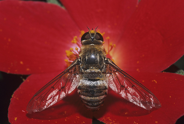 Drone fly (Eristalis tenax), adult perched on flower, Starr County, Rio Grande Valley, Texas, USA