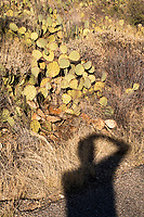 The shadow of M. Scott Brauer taking a picture is seen near an Engelman's prickly pear cactus in the Cactus Forest area of Saguaro National Park (Rincon Mountain District) near Tucson, Arizona, USA.