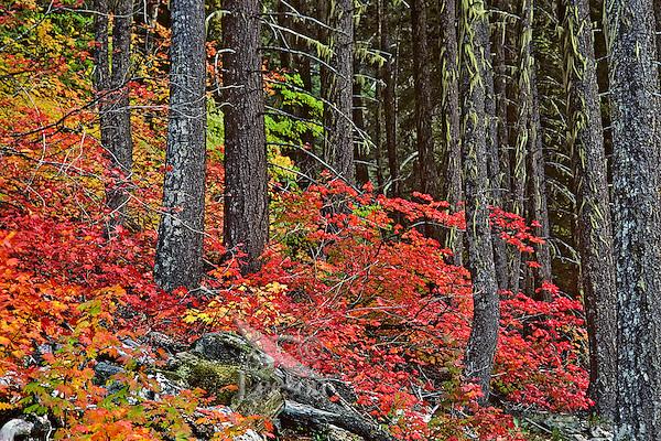 Vine maple among douglas fir trees, Pacific N.W., Fall