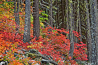Vine maple among douglas fir trees, Pacific N.W., Fall