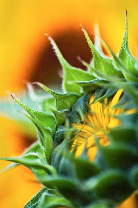 Sunflower blossom starting to open
