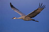 Sandhill Crane, Grus canadensis, adult in flight, Bosque del Apache National Wildlife Refuge, New Mexico, USA
