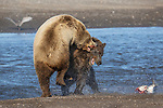 Pictured:  Sequence 7 of 13:  The mum having caught the fish is attacked by the other bear sending the fish flying through the air<br /> <br /> Grizzly bears viciously attack each other as they battle over a fish.  The two brown-haired bears became aggressive as they came to blows over their food, digging their paws and teeth into each other.<br /> <br /> Photographer Kevin Dooley spotted the female bear, thought to be about 16 years old, fighting with the younger five-year-old male bear in southwestern Alaska.  SEE OUR COPY FOR DETAILS.<br /> <br /> Please byline: Kevin Dooley/Solent News<br /> <br /> © Kevin Dooley/Solent News & Photo Agency<br /> UK +44 (0) 2380 458800