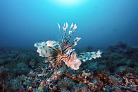 common lionfish, Pterois volitans, Monad shoal Reef, Malapascua Island, Central Visayas, Philippines, Pacific Ocean
