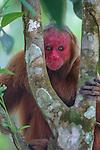 Bald uakari, Amazonas, Brazil