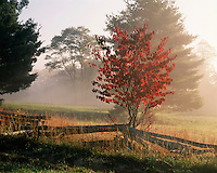 Foggy sunrise light on a Dogwood tree in fall color; Pipestem State Park, WV