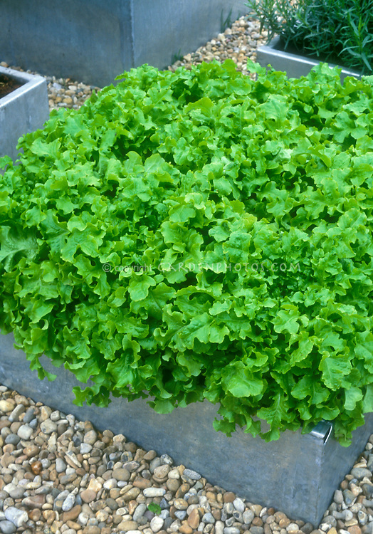 Lettuce 'Emerald Oak'  oakleaf variety growing in raised bed of galvanized steel (pot container vegetable). An Open Source Seed Initiative variety, looseleaf lettuce