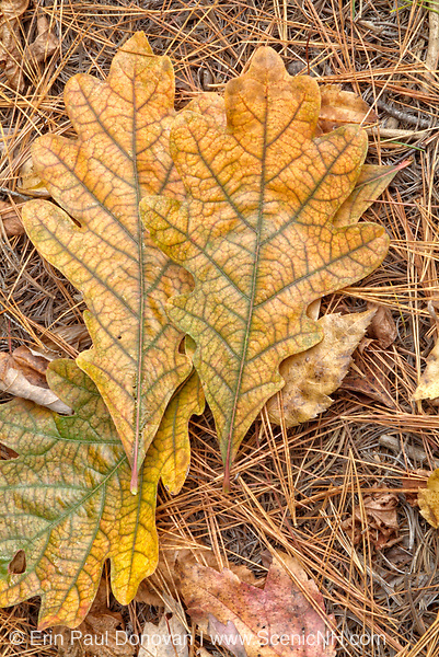 White Oak - Quercus alba - leafs on the ground during the autumn months in a New England USA forest.