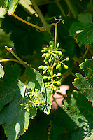 grapes starting to form mas du notaire rhone france
