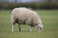 10-4-2021 Ewes <br /> ©Tim Scrivener Photographer 07850 303986<br />      ....Covering Agriculture In The UK....
