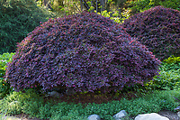 Loropetalum chinense, Fringe Flower, purple foliage shrub; Los Angeles County Arboretum