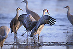 Crane dance during the breeding season in the Bosque del Apache National Wildlife Refuge, New Mexico