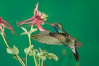 Broad-billed Hummingbird, Cynanthus latirostris, male in flight feeding on columbine, Madera Canyon, Arizona, USA, May 2005