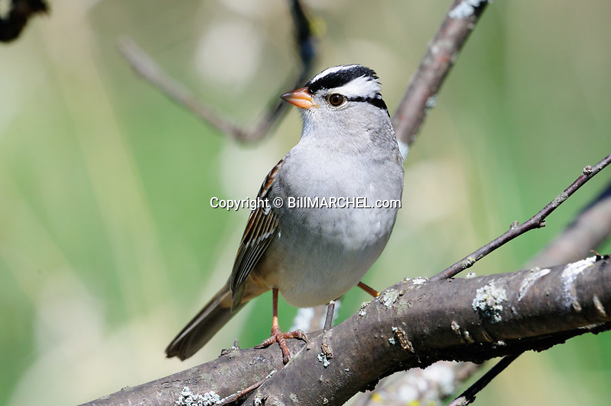 01096-00201 White-crowned Sparrow is perched in heavy cover typical of species.  Bird, birding.