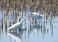 Great Egrets, Ardea alba, at Tule Lake National Wildlife Refuge, Oregon