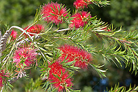 Zylinderputzer, Lampenputzerstrauch, Lampenputzer-Strauch, Schönfaden, Pfeifenputzer, Flaschenputzer, Callistemon violaceus, Violet bottlebrush, Purple Bottlebrush