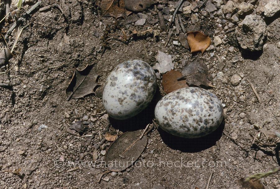 Rothals-Ziegenmelker, Rothalsziegenmelker, Nest, Gelege mit Eiern, Ziegenmelker, Caprimulgus ruficollis, Red-necked Nightjar
