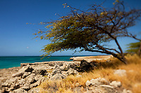 A divi-divi tree (Cæsalpinia coriaria) stands along Aruba's Malmok beach along the west coast of Aruba.  Aruba remains a popular tourist destination, with international planes and cruise ships arriving daily. Aruba, part of the Lesser Antilles, is famous for its white sand beaches, blue/green waters and mild climate.