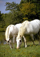 Two horses, Arabian brothers, grazing side by side, Missouri USA