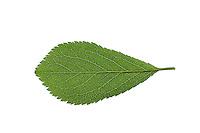 Gewöhnliche Schlehe, Schwarzdorn, Prunus spinosa, Blackthorn, Sloe, Epine noire, Prunellier. Blatt, Blätter, leaf, leaves