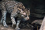 ocelot 3/4 view walking to right