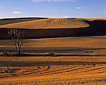 Old tree in harvested wheatfield at sunset Eastern Washington State USA