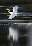 A white egret slowly comes to a gentle landing in a wetland in Sausalito, California.