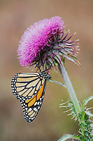 Monarch (Danaus plexippus), Sinton, Corpus Christi, Coastal Bend, Texas, USA
