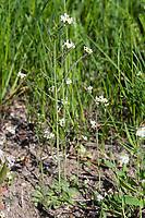Acker-Schmalwand, Ackerschmalwand, Schotenkresse, Gänserauke, Arabidopsis thaliana, thale cress, mouse-ear cress, arabidopsis, L'Arabette des dames, L'Arabette de Thalius
