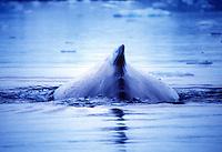 Whale, Antartica