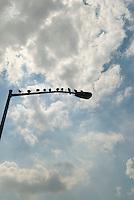 Pigeons sitting on Street Light, Manhattan, New York City, New York State, USA
