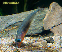 1S22-507z  Male Threespine Stickleback shaping nest by pushing plant materials with it mouth, mating colors showing bright red belly and blue eyes,  Gasterosteus aculeatus,  Hotel Lake British Columbia