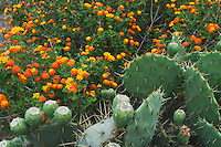 Texas Prickly Pear Cactus (Opuntia lindheimeri) and Texas Lantana (Lantana urticoides), Rio Grande Valley,Texas, USA